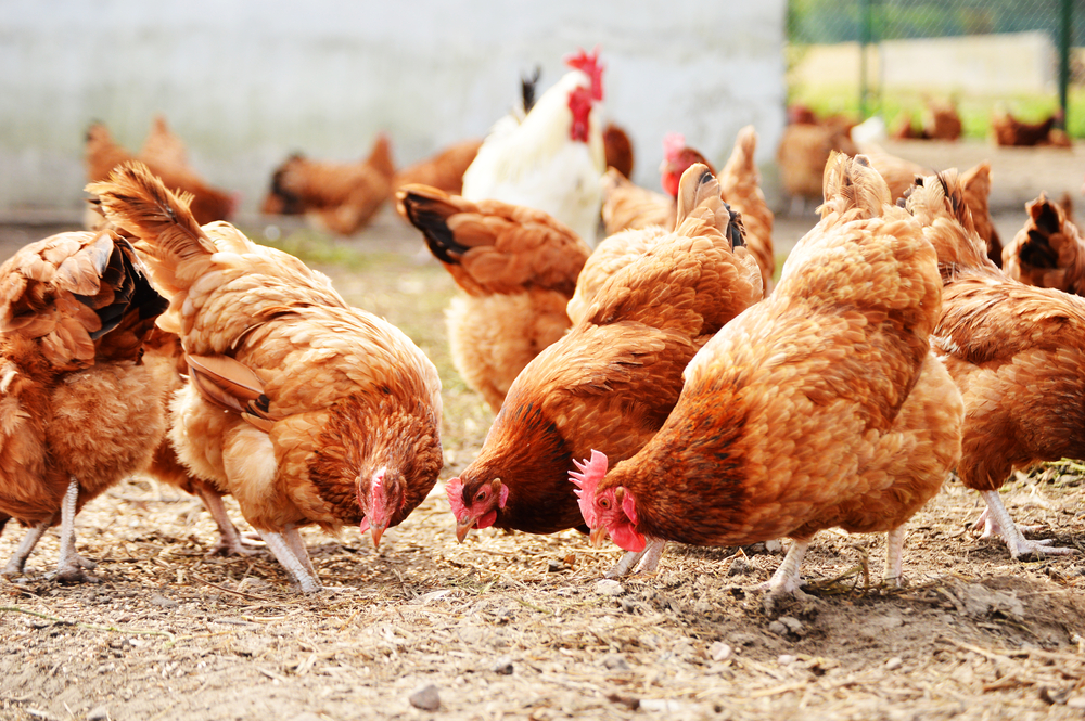 Poultry Industry in Lebanon: Facing Foreign Competition